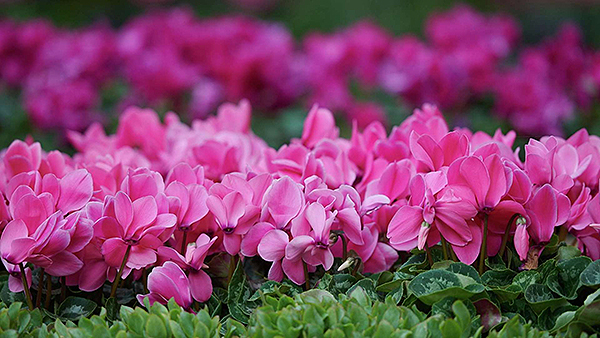 bellagio entertainment conservatory japanese spring pink flowers.jpg.image.1920.1080.high
